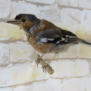 Taxidermy Common Chaffinch