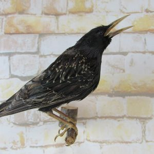Taxidermy Common Starling